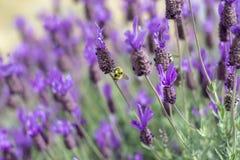 Flores de la lavanda de Polinating de la abeja Imagen de archivo libre de regalías