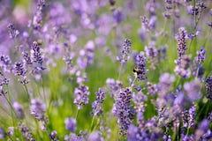 Flores de la lavanda que florecen en un campo Foto de archivo libre de regalías