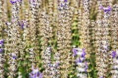 Flores de la lavanda y abeja de la miel en el campo Foto de archivo