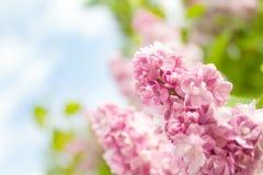 Flores de la lila Foto de archivo