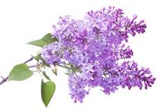 Flores de la lila. Fotos de archivo libres de regalías