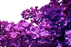 Flores de la lila Foto de archivo libre de regalías