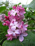 Flores de la lila fotografía de archivo libre de regalías