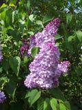 Flores de la lila Fotos de archivo libres de regalías