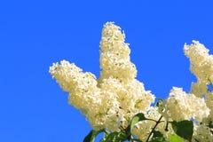 Flores de la lila blanca de la primavera hermosa contra el cielo azul fotos de archivo