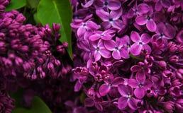 Flores de la lila de la primavera foto de archivo
