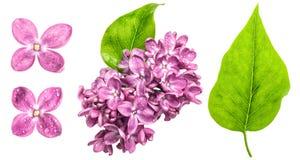 Flores de la lila de la primavera con descensos del agua Flores rosados y l verde Foto de archivo