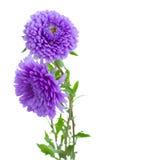 Flores de la lila del aster del árbol Imagen de archivo