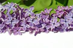 Flores de la lila del flor con el lugar para la etiqueta Fotografía de archivo libre de regalías