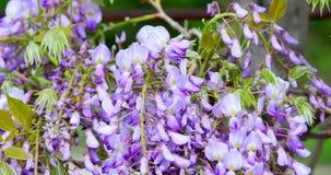 Flores de la lila del primer que agitan en el viento almacen de video