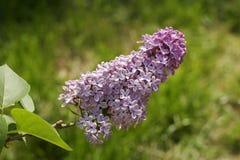 Flores de la lila del resorte Foto de archivo libre de regalías