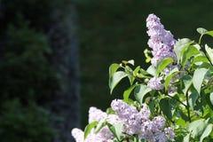 Flores de la lila en árbol de la lila Foto de archivo libre de regalías