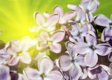 Flores de la lila en cierre de la luz del sol para arriba Imagen de archivo