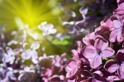 Flores de la lila en cierre de la luz del sol para arriba Foto de archivo