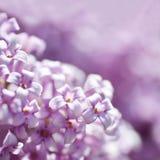 Flores de la lila en primer Fotos de archivo libres de regalías