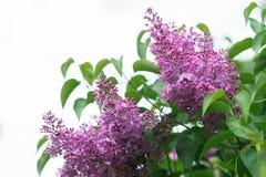 Flores de la lila en resorte Fotografía de archivo libre de regalías