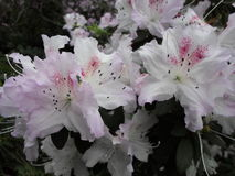 Flores de la lila, flores púrpuras Árbol floreciente en resorte Rose florece, las flores rosadas, azaleas rosadas Imágenes de archivo libres de regalías