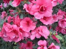 Flores de la lila, flores púrpuras Árbol floreciente en resorte Rose florece, las flores rosadas, azaleas rosadas, camelias rosad Fotos de archivo libres de regalías