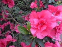 Flores de la lila, flores púrpuras Árbol floreciente en resorte Rose florece, las flores rosadas, azaleas rosadas, camelias rosad Foto de archivo libre de regalías