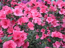 Flores de la lila, flores púrpuras Árbol floreciente en resorte Rose florece, las flores rosadas, azaleas rosadas, camelias rosad Imagen de archivo libre de regalías