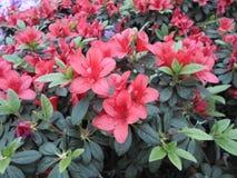 Flores de la lila, flores púrpuras Árbol floreciente en resorte Rose florece, las flores rosadas, azaleas rosadas, camelias rosad Imagen de archivo