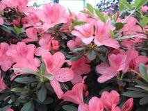 Flores de la lila, flores púrpuras Árbol floreciente en resorte Rose florece, las flores rosadas, azaleas rosadas, camelias rosad Fotografía de archivo