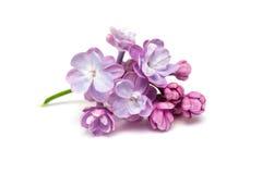 Flores de la lila Fondo blanco imágenes de archivo libres de regalías