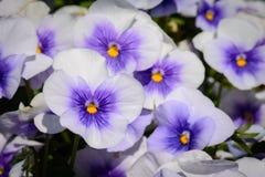 Flores de la lila, púrpuras y amarillas de Viola Pansy Imagen de archivo libre de regalías