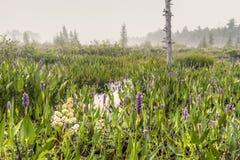 Flores de la lisimaquia púrpura en la entrada de la zona de Brown Foto de archivo libre de regalías