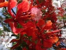 Flores de la llama del bosque Fotografía de archivo libre de regalías