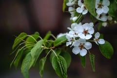 Flores de la lluvia de la manzana en el jardín foto de archivo