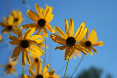 Flores de la luz del sol Fotos de archivo