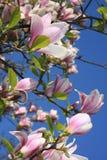 Flores de la magnolia Imágenes de archivo libres de regalías