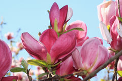 Flores de la magnolia Imagen de archivo libre de regalías