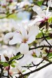 Flores de la magnolia Imagen de archivo
