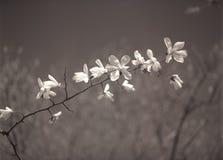 Flores de la magnolia. Imágenes de archivo libres de regalías