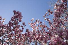 Flores de la magnolia Fotos de archivo