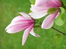 Flores de la magnolia Fotos de archivo libres de regalías