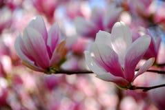 Flores de la magnolia Foto de archivo libre de regalías