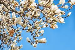 Flores de la magnolia contra el cielo azul foto de archivo libre de regalías