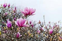 Flores de la magnolia de la primavera Foto de archivo libre de regalías