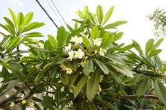 Flores de la magnolia del manojo en el árbol Imágenes de archivo libres de regalías