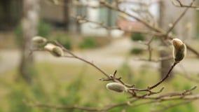 Flores de la magnolia en la primavera temprana en abril HD 1920 metrajes