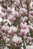 Primavera rosada Imagen de archivo