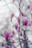 Flores de la magnolia en Yalta Flores rosadas de la magnolia Foto de archivo libre de regalías