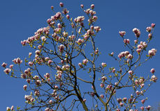 Flores de la magnolia rosada Foto de archivo libre de regalías
