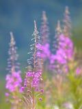 Flores de la mala hierba del sauce en verano foto de archivo