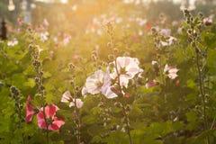 Flores de la malvarrosa Foto de archivo libre de regalías