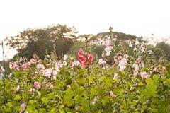 Flores de la malvarrosa Fotos de archivo libres de regalías