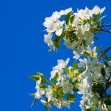 Flores de la manzana Fotografía de archivo